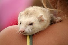Ferret On My Shoulder Royalty Free Stock Photography