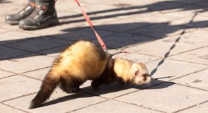 A ferret on the pavement in the park.  Royalty Free Stock Images