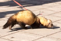 A ferret on the pavement in the park.  Stock Photo
