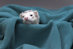 Ferret peeks out from cloth. Royalty Free Stock Images