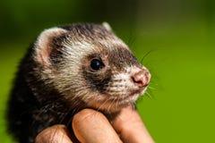 Ferret pet Stock Images
