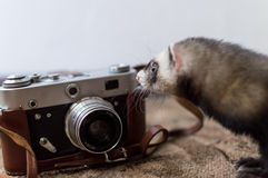 Ferret photographer. A little Ferret photographer and a vintage Russian camera Stock Image