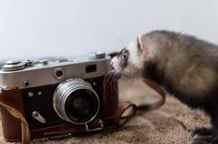 Ferret photographer Stock Image