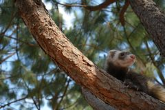 Ferret in the pine tree stock photo
