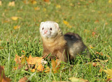 Ferret play autumn meadow Royalty Free Stock Photography