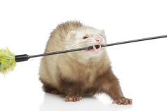 Ferret play with toy Stock Photos