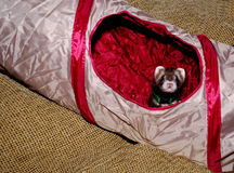 Ferret in play tunnel Royalty Free Stock Photos