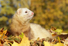 Ferret play with yellow autumn leaves Royalty Free Stock Photos