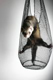 Ferret playing. Quick ferret playing in a sheer bag Stock Image