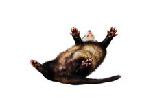 Ferret playing dead / falling from the sky Royalty Free Stock Images