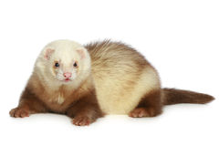 Ferret (polecat). On a white background stock image