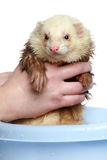 Ferret (polecat) wash in water. On a white background stock photo