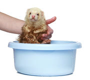 Ferret (polecat) wash in water. On a white background stock images
