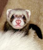 Ferret portrait 2 Stock Image