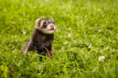 Fluffy ferret relaxing in summer day in grass Stock Images