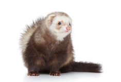 Ferret posing on a white background Royalty Free Stock Images