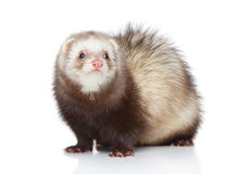 Ferret posing on a white background Stock Photography