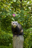 Ferret on a POST. Male ferret standing on a wooden post fence. Daylight. Surrounded by lush greenery: ferns, flowers, trees, etc stock photo