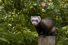 Ferret on a POST. Male ferret standing on a wooden post fence. Daylight. Surrounded by lush greenery: ferns, flowers, trees, etc Royalty Free Stock Image