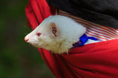 Ferret in the pouch Royalty Free Stock Photo