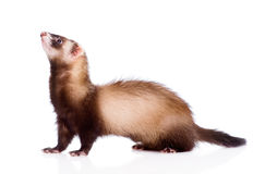 Ferret in profile. isolated on white background Royalty Free Stock Photo