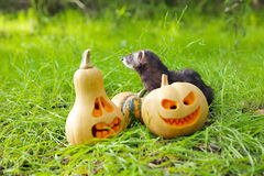 Ferret and pumpkins Stock Photos