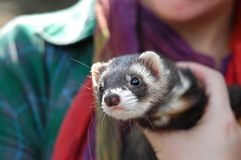 Ferret Puppy. A ferret puppy in zoological garden of Tel Aviv University Stock Photography