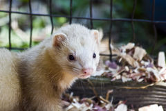 Ferret - Rescued Royalty Free Stock Photos