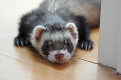 Ferret resting Stock Photos
