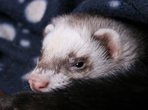 Ferret resting Royalty Free Stock Photos