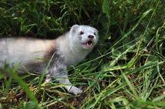 Ferret Royalty Free Stock Image