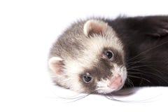 Ferret resting Stock Photography