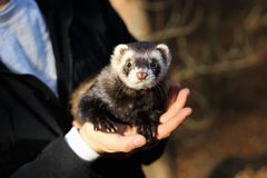 Black and white ferret in the hands of a woman royalty free stock photography