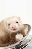 Ferret on the scale Stock Image