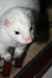 Ferret. Silver ferret photographed at home royalty free stock image