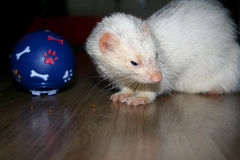 Ferret. Silver ferret photographed at home. With his favorite toy filled with food royalty free stock image