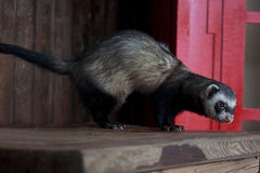 The ferret sits on a wooden table. Royalty Free Stock Photo