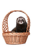 Ferret sitting in basket Royalty Free Stock Images