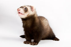 Ferret sitting and looking away Royalty Free Stock Images