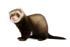 Ferret sitting Stock Image