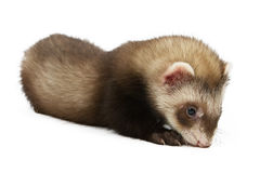 Ferret sitting Royalty Free Stock Image