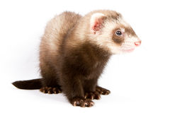 Ferret sitting Royalty Free Stock Photography