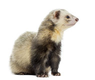 Ferret sitting, looking away, isolated Stock Photography