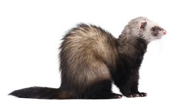 Ferret sitting and looking away, isolated on white background stock image