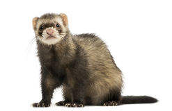 Ferret sitting, looking at the camera, isolated Stock Image