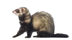 Ferret sitting and looking left Stock Images