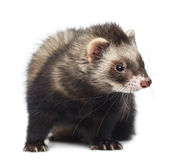 Ferret sitting and looking right Royalty Free Stock Image