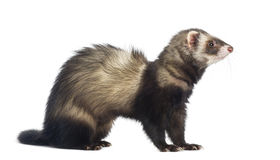 Ferret sitting and looking right Stock Photos