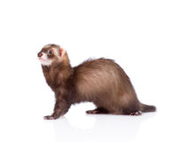 Ferret sitting in profile. isolated on white background Royalty Free Stock Photos