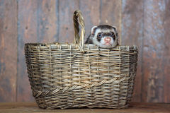 The ferret sitting in a wicker basket. Royalty Free Stock Photo